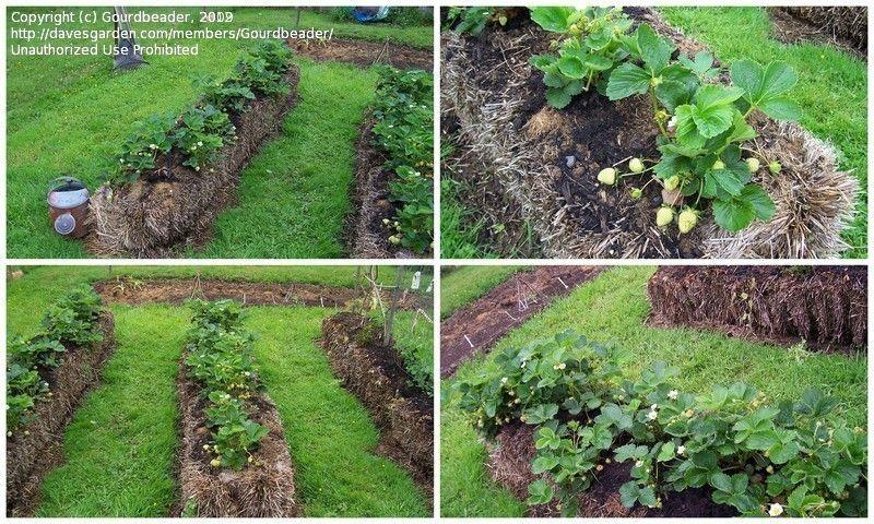 Hay Bale Garden Strawberries Gardening Gourdbeader Picture