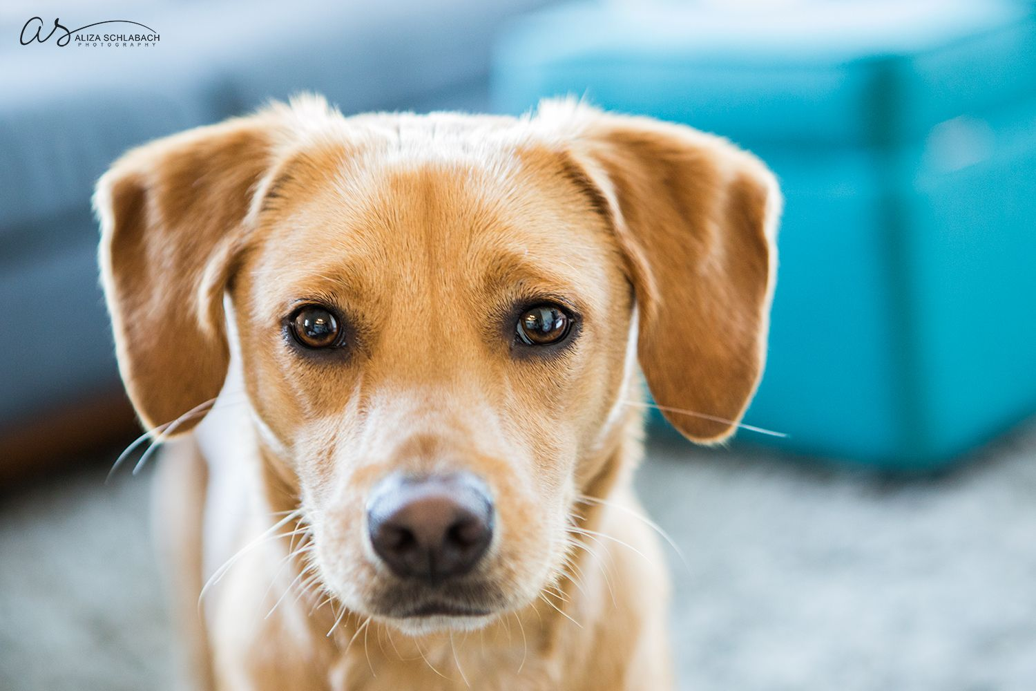 Golden dog looking into camera   Teal   Pet Photography   Copyright 2015 Aliza Schlabach Photography   ByAliza.com