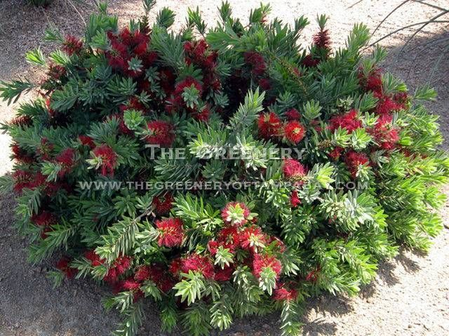Woody Evergreen Shrubs With Small Leathery Leaves Google