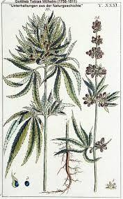 Resultado de imagem para botanical illustration cannabis