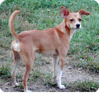 Lake Charles La Chihuahua Whippet Mix Meet Sadie 3 A Dog For
