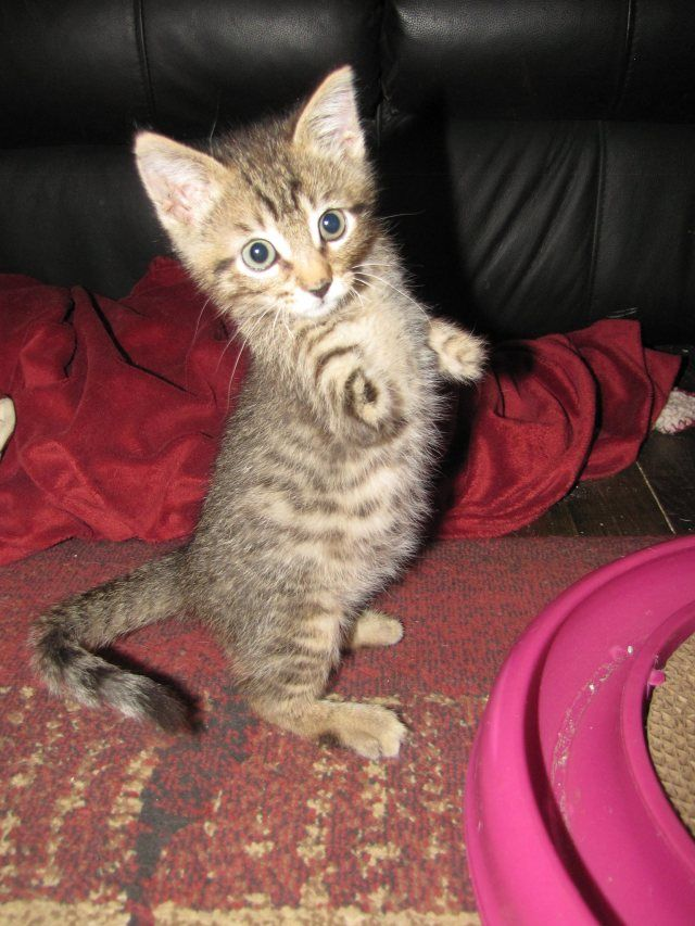 Mercury The Two Legged Cat Does The World S Cutest T Rex Impressions Buy A Kitten Small Kittens Cats And Kittens