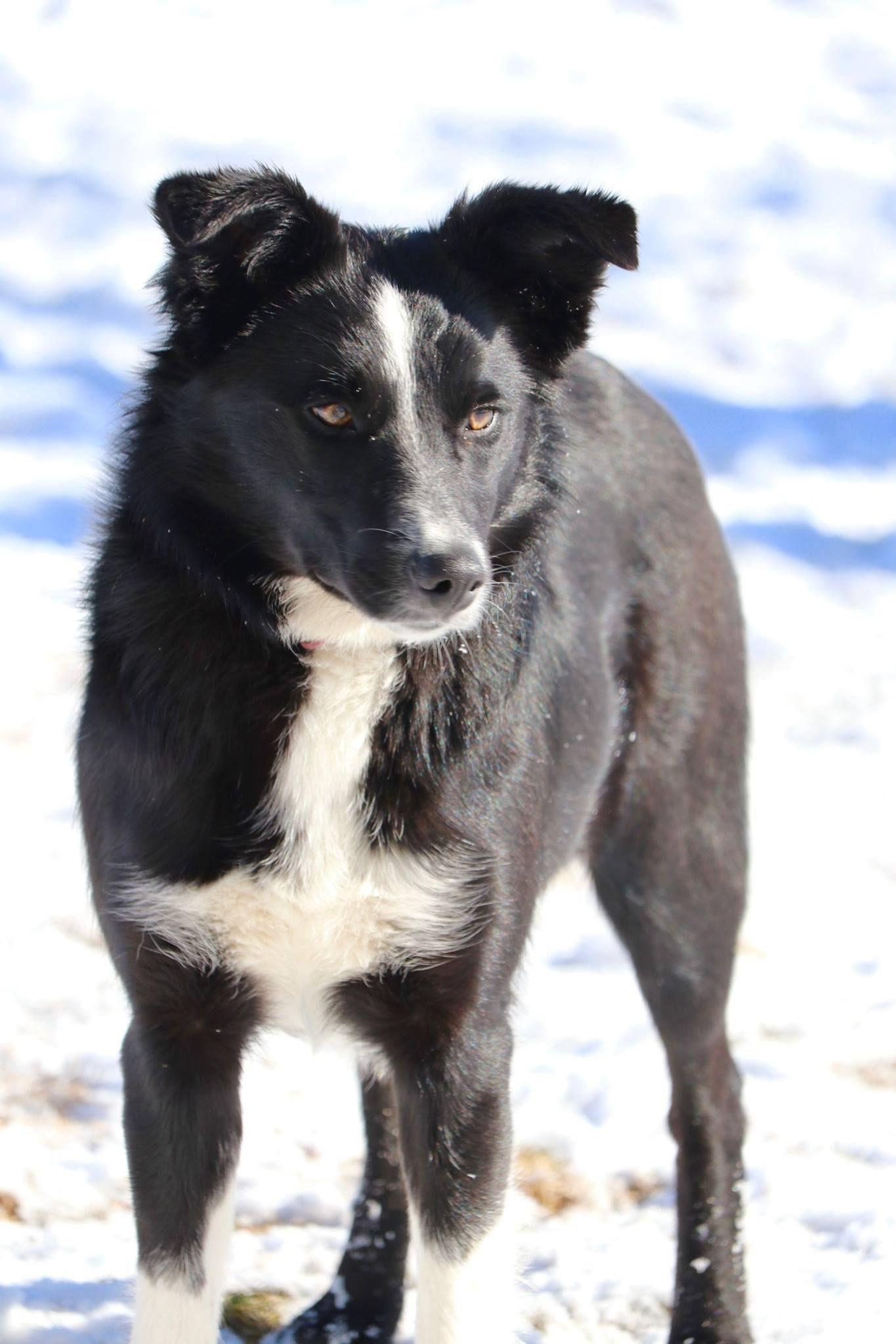 Border Collie Dog For Adoption In Paisley Or Adn 793417 On Puppyfinder Com Gender Female Age Young