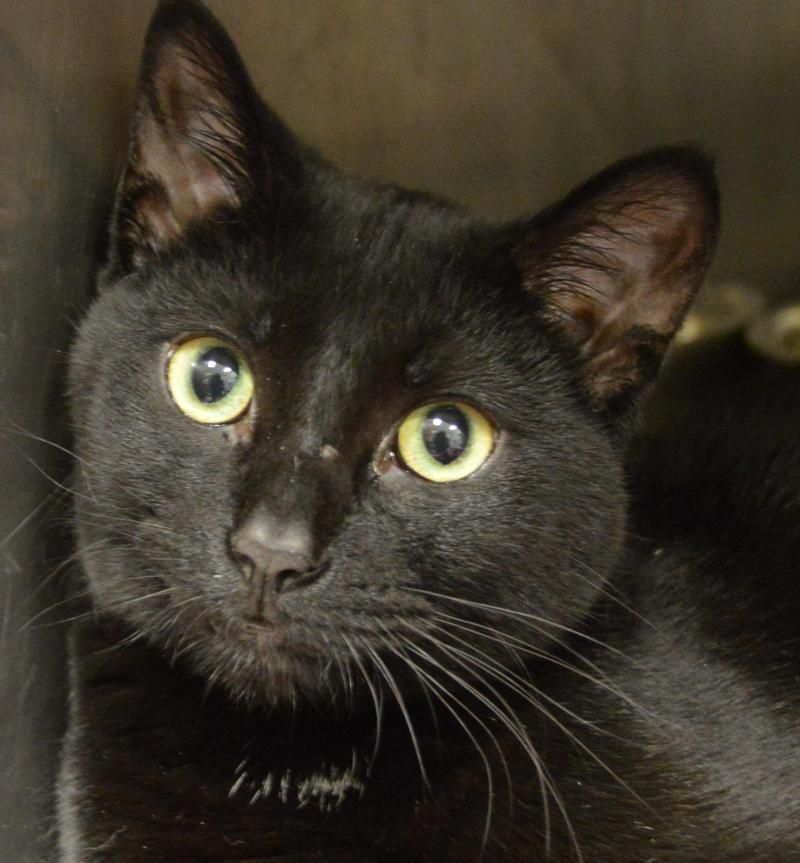 Adopt Newton on Adoption, Short hair cats, Cat toys