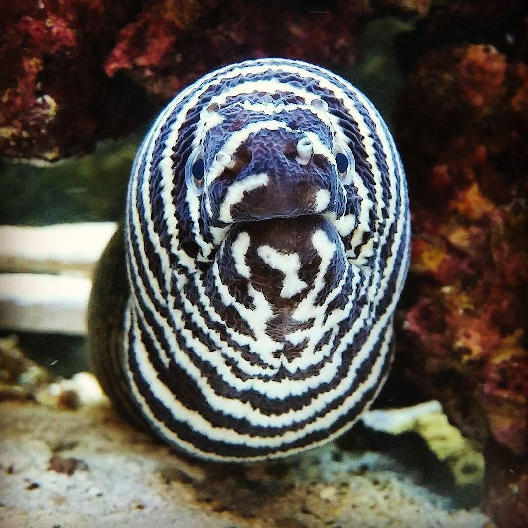 the zebra moray eel is actually a pretty social creature often