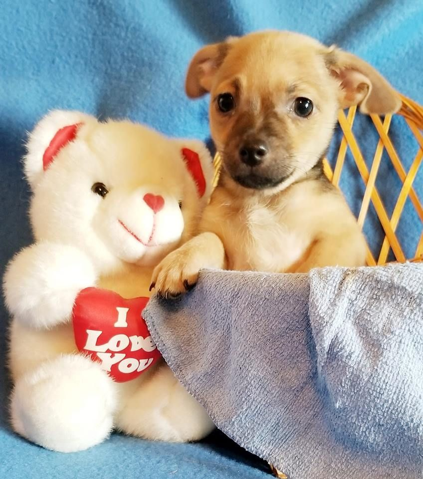Chihuahua Dog For Adoption In Modesto Ca Adn 826041 On Puppyfinder Com Gender Male Age Bab Chihuahua Dog For Adopti Chihuahua Chihuahua Dogs Dog Adoption
