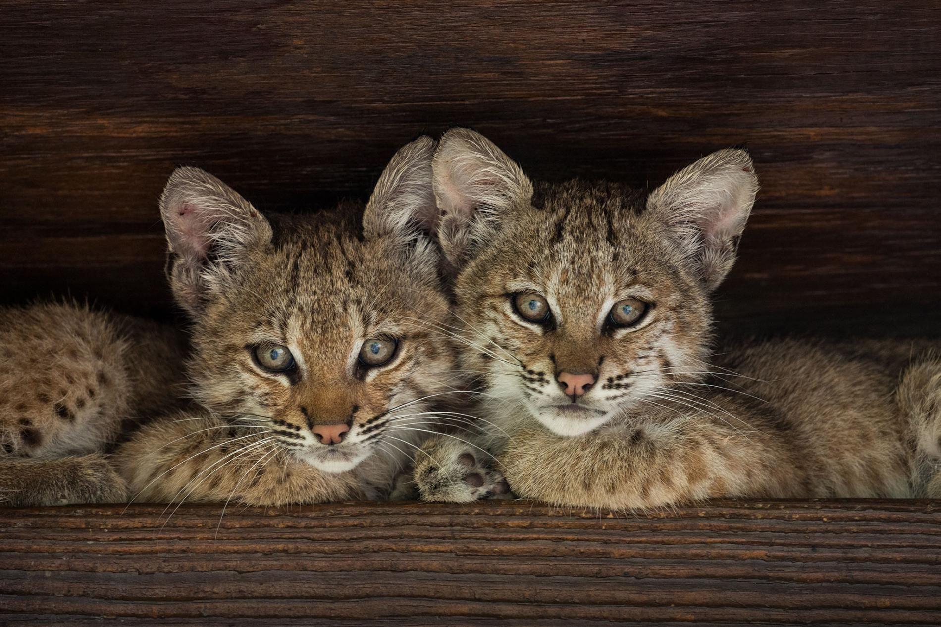 A Rare Look at a Bobcat Family Wild animals photography