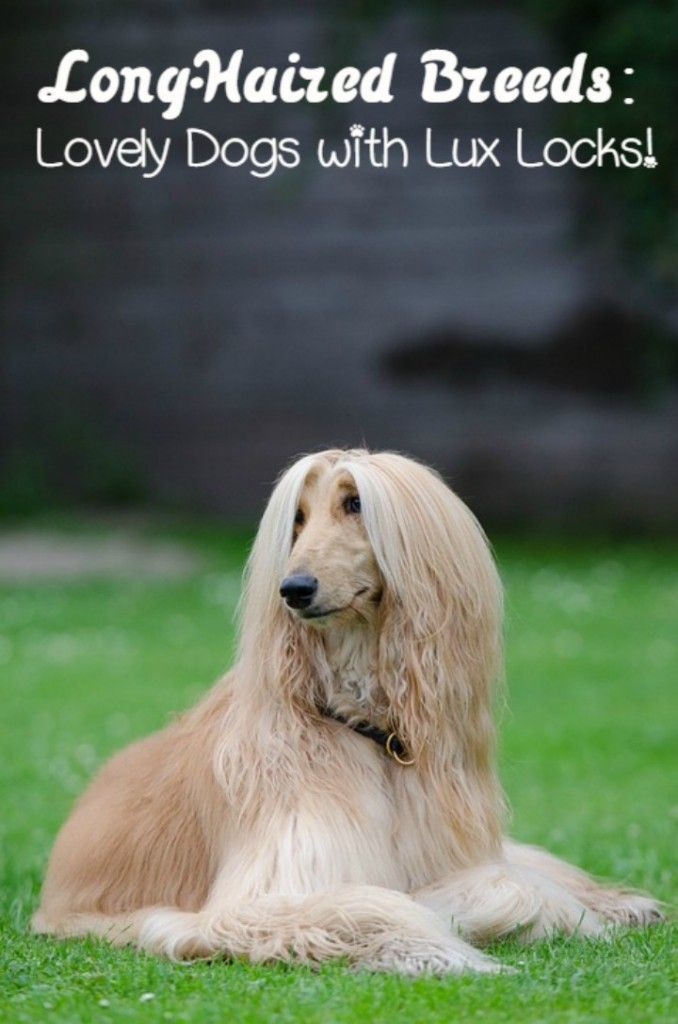 Long Haired Dog Breeds Long Haired Dog Breeds