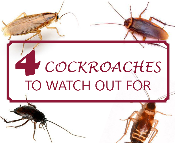 Four Wisconsin Cockroaches To Watch Out For Cockroaches Wisconsin Pest Control