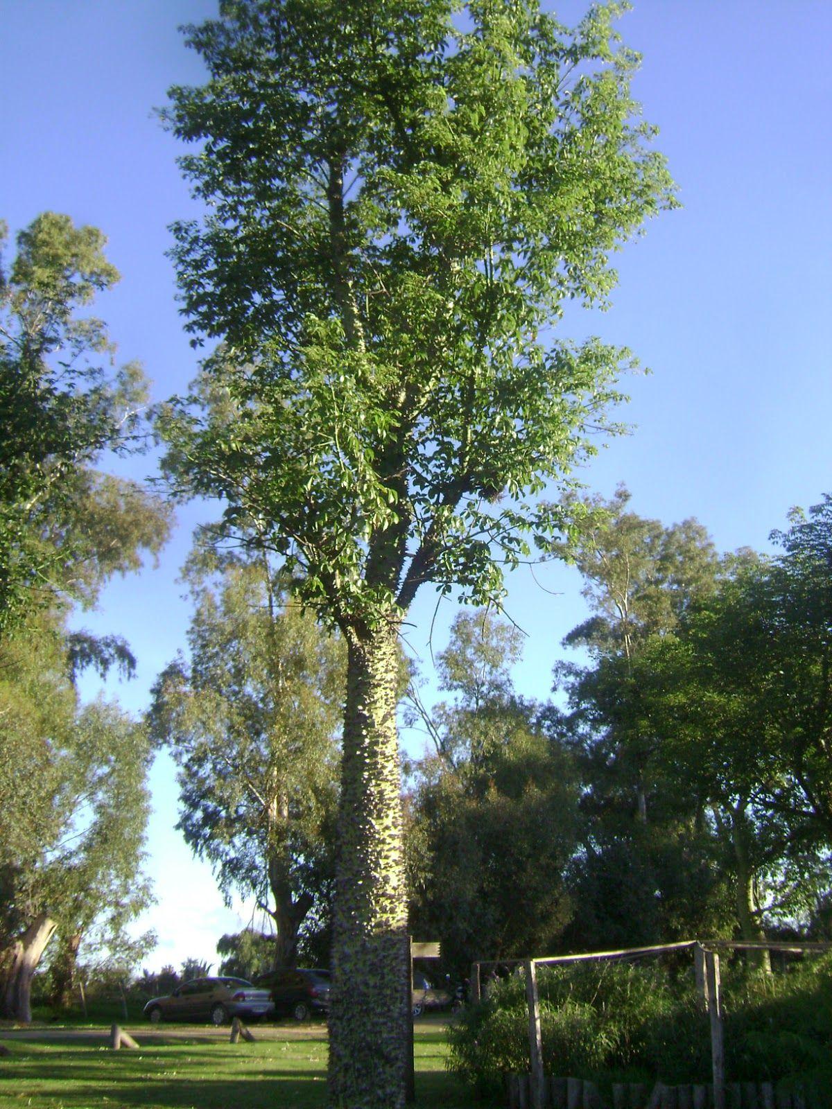 Palo borracho argentina plants plantas en 2018 for Arboles perennes en argentina