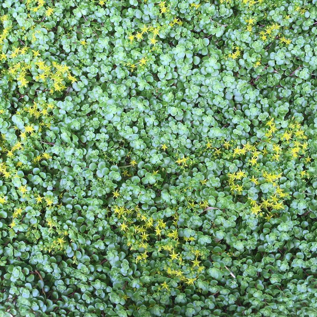 Sedum ugreen moundsu in flower my go to succulent groundcover for
