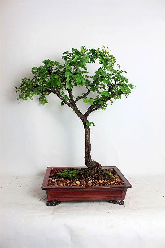 """Texas Ebony bonsai tree """"Summer Exotics collection"""" by LiveBonsaiTree"""" by LiveBonsaiTree on Etsy"""