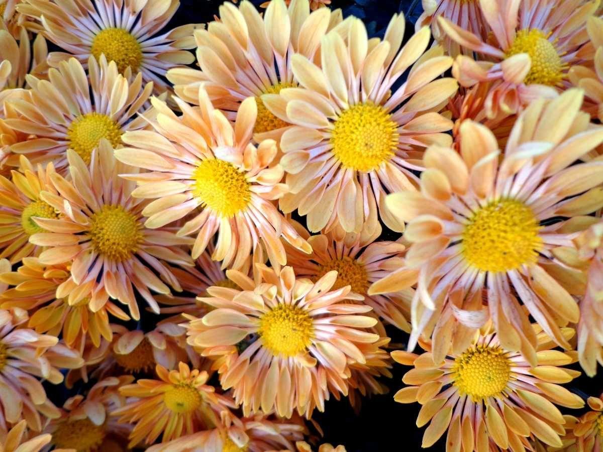 Chrysanthemum Flatbud Pinterest Chrysanthemums Plants And