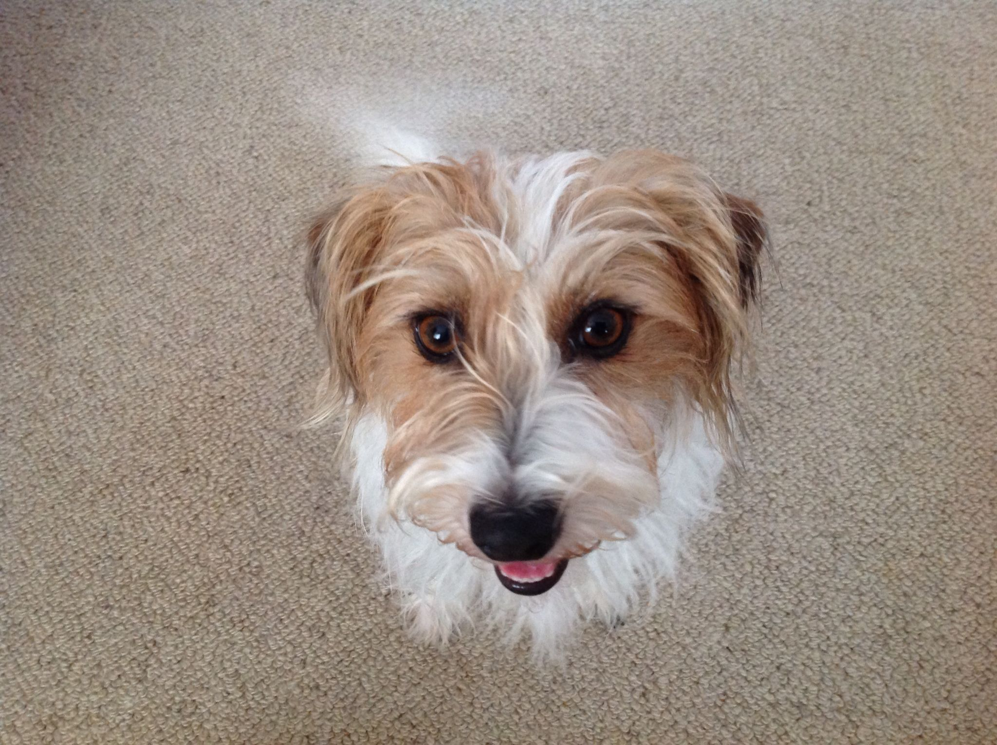 Jess Long Haired Jack Russell Maltese X