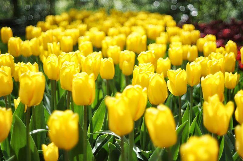 Gambar Bunga Tulip Kuning Lihat Keukenhof Penuh Dengan Bunga Page 2 Of 10 Jalanbareng Com Gambar Alam Mekar Menanam Daun Bunga Ber Di 2020 Bunga Bunga Tulip Gambar