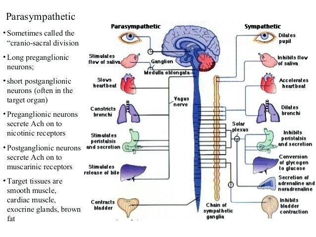 Sympathetic Vs Parasympathetic Chart Anatomical ...