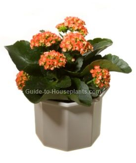kalanchoe plant flowering house plants flaming katy succulent house plants