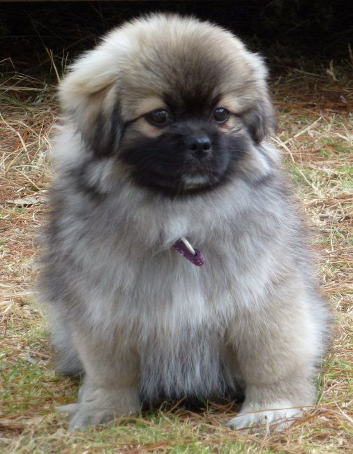 Super Dog Healthy Dog Food Treats And Pet Products Superfoodsnz Dogs Animals Tibetan Spaniel