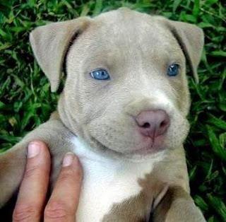 Blue Eyed Pitbull Pitbull Puppies Cute Small Animals Cute Dogs