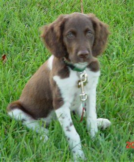 Brittany Spaniel Pictures And Photos 1 Brittany Dog Brittany Spaniel Dogs Dogs