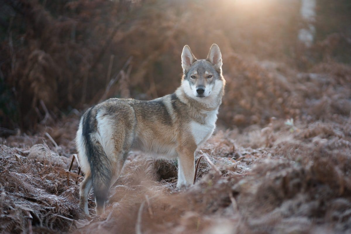 Wolfs Pictures Download Free Images On Unsplash With Images