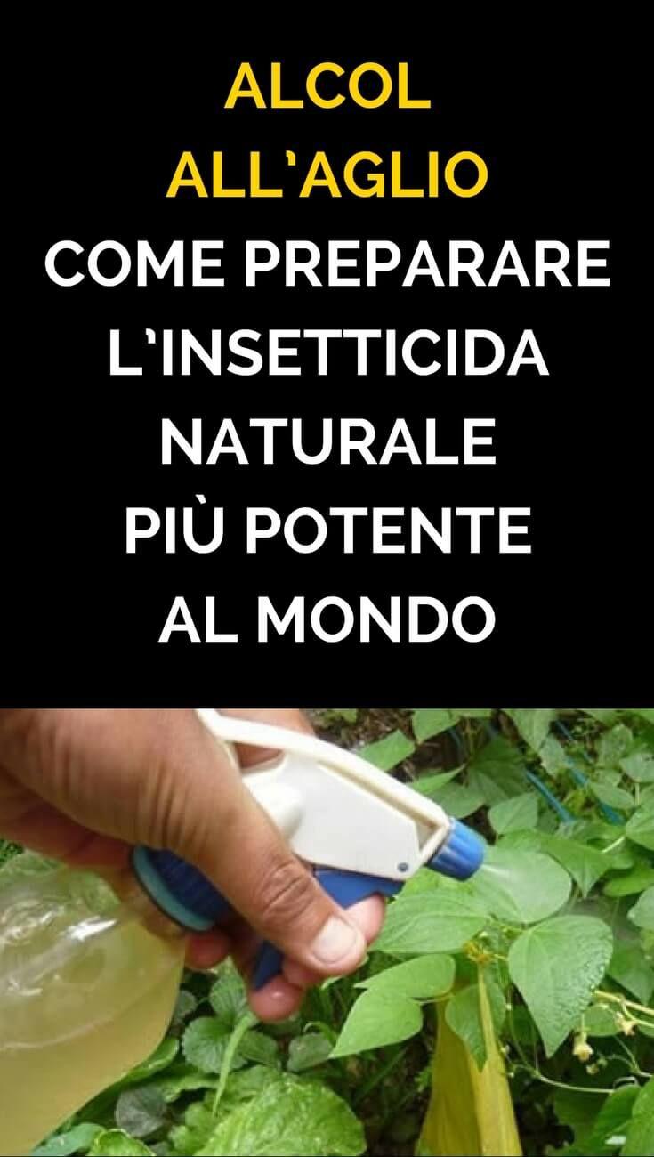 Combattere Afidi Delle Rose alcol all'aglio: come preparare l'insetticida naturale più