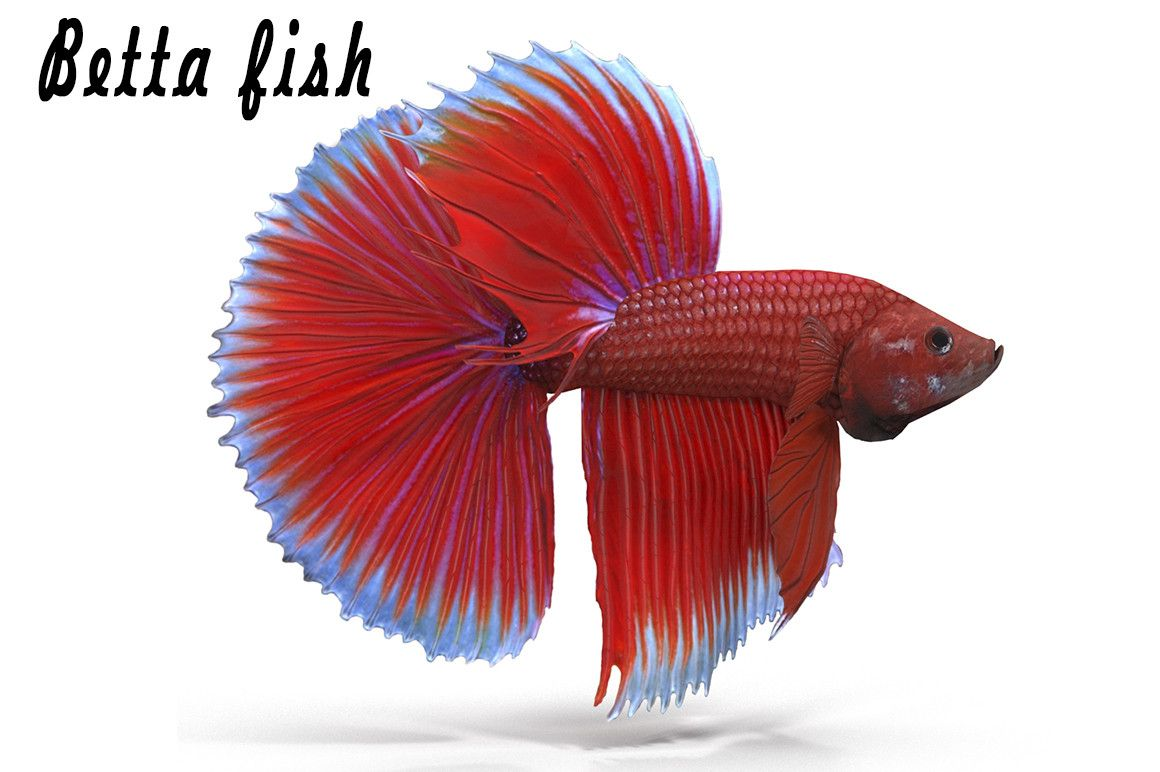 3D Model Betta Fish - 3D Model | 3D-Modeling | Pinterest | Betta ...