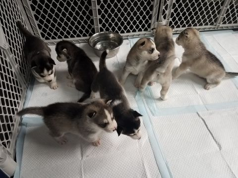 Siberian Husky Puppy For Sale In West Haven Ct Adn 44682 On