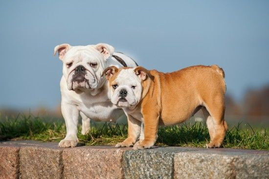 Telling The Different Bulldog Breeds Apart