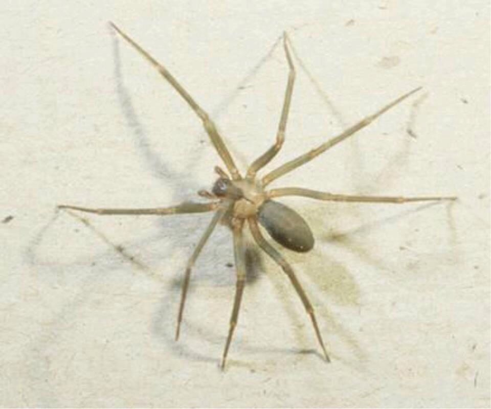 Brown Recluse spiders are back. beware | Health warnings and dangers ...