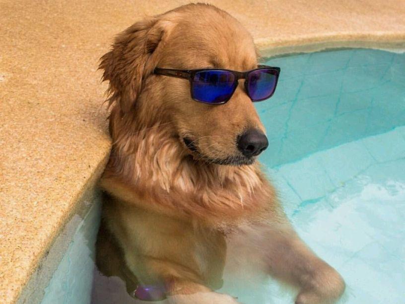Tips para proteger a tu perro del calor | Perro con lentes, Perros ...