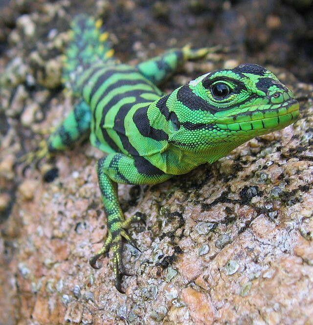 Green Thorny Tail Iguana