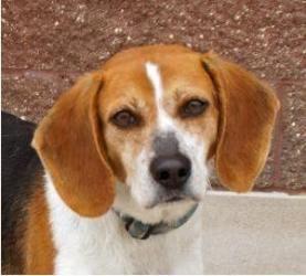 Adopt Milo On Beagle Dog Adoptable Beagle Beagle Puppy