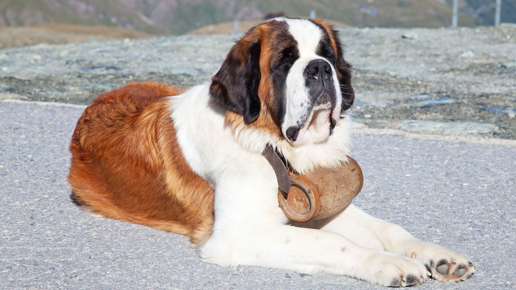 10 Razas De Perro De Talla Grande Hogarmania Adoptar Un Perro
