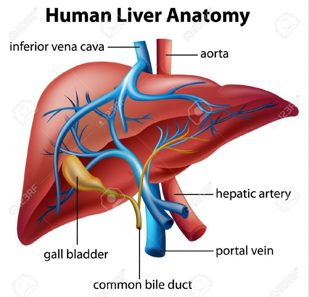 Hepatic Circulatory System Liver Circulatory System Anatomy Hepatic ...