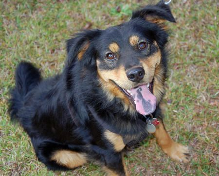 Bo The Mini Pinscher Tibetan Spaniel Spotted Tongue Perfection