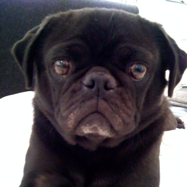 Squeak - only girl pug in our pack aka Isabella Grosselini because she eats poo - ew!