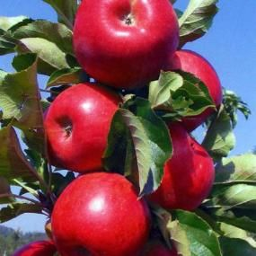 Tasty Red Urban Apple From Stark Bro S With Images White Flower Farm Apple Tree Fruit Trees