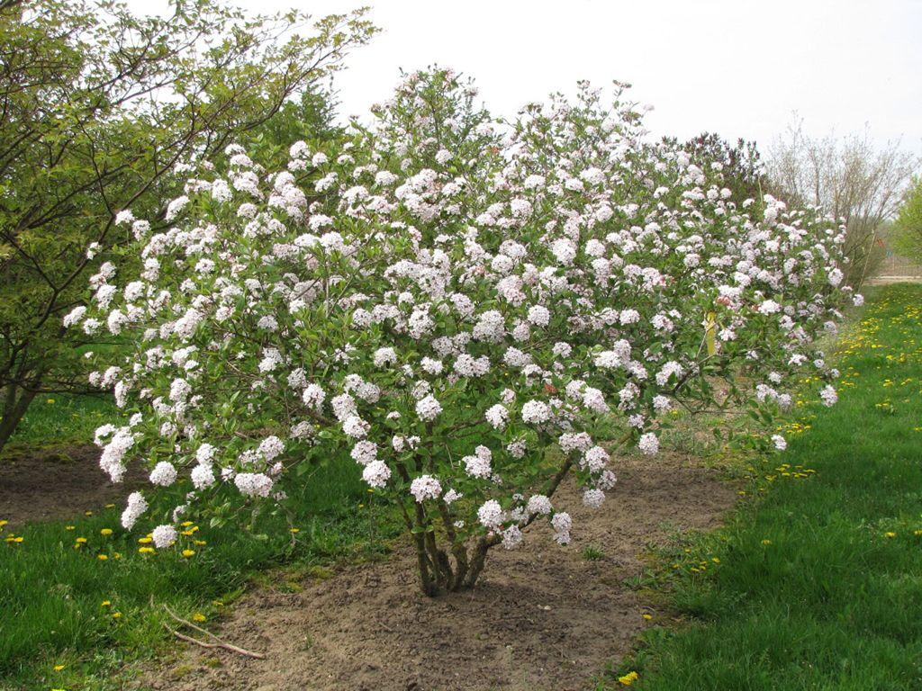 Viburnum x burkwoodii 39 mohawk 39 ebben multistem trees for Garden shrubs
