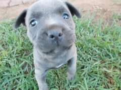 One Female Purebreed American Blue American Staffordshire Terrier Puppies Staffordshire Terrier Puppy Terrier Puppies
