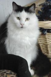 Delta Domestic Long Hair Black And White Cat Kanab Ut Cats I Love Cats Domestic Cat