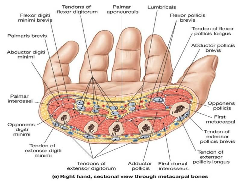 hand anatomy - Google Search | SDP Anatomy | Pinterest | Hand ...