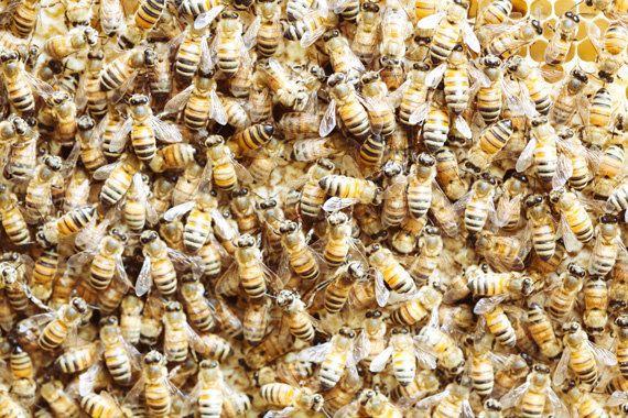 Honeybee Fine Art Photograph by kimfearheiley