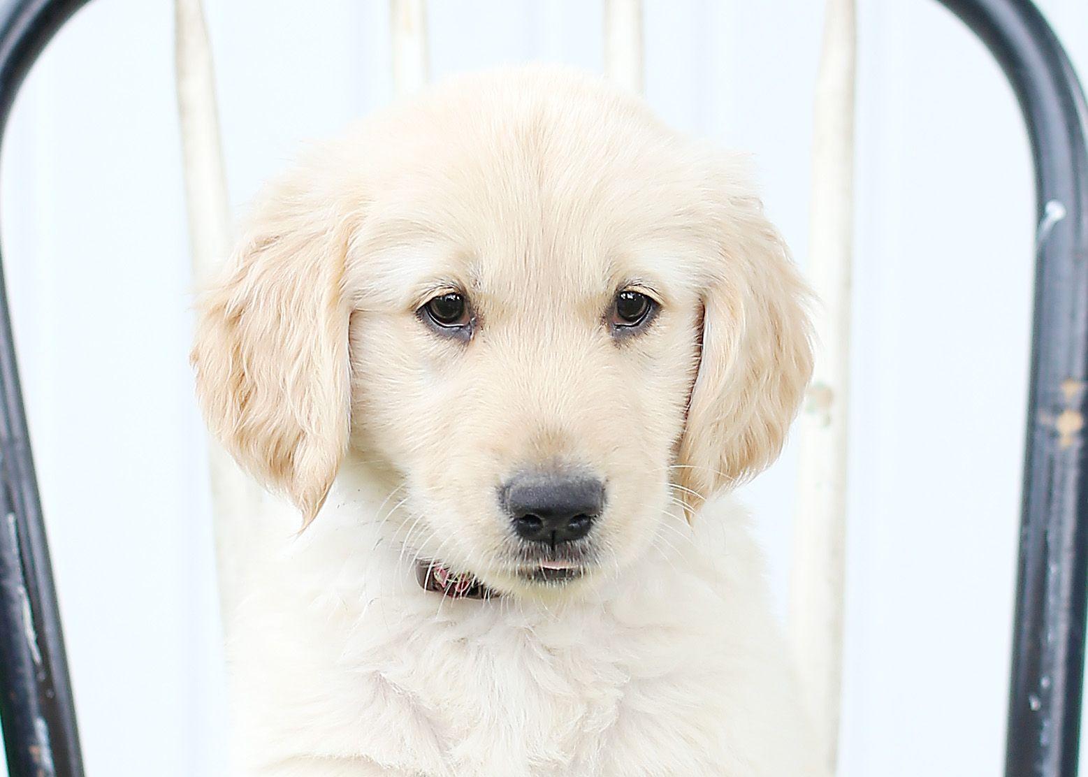 Puppy Dog Cute Puppy Creative Puppy Photo Golden Retriever