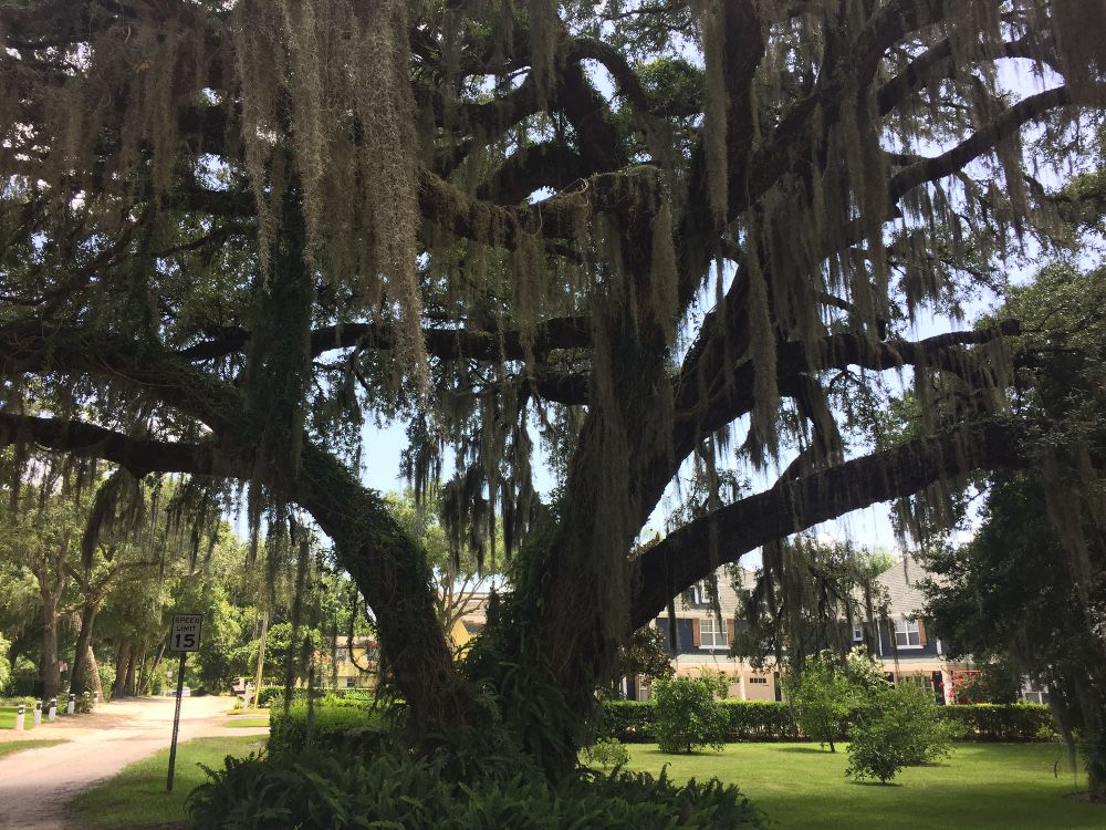 old oak tree with spanish moss in windermere