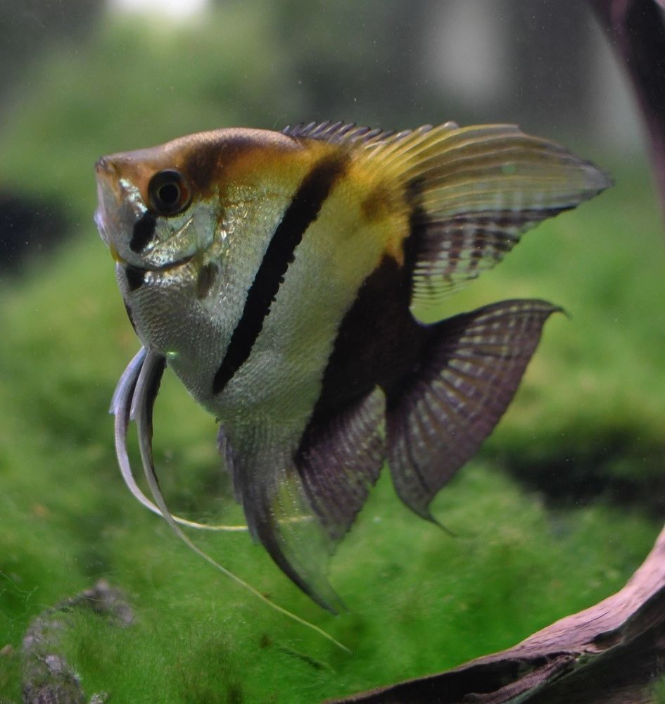 Silver Angelfish Large Freshwater Aquarium Fish Ryba