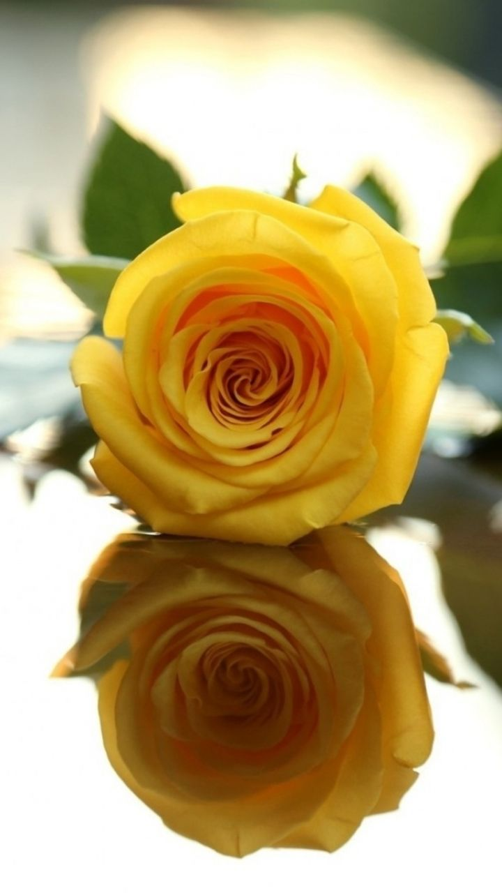 The Yellow Rose My favorite.  My Style  Yellow rose flower, Yellow roses, Rose wallpaper