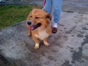 Adopt Bubbles On Dog Sounds Corgi Dog Corgi Collie Mix