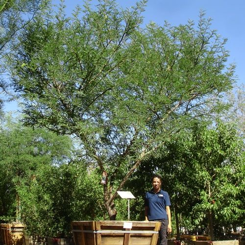Photos For Best Rate Landscape Design: The Chilean Mesquite Is Easily One Of The Most Recognized