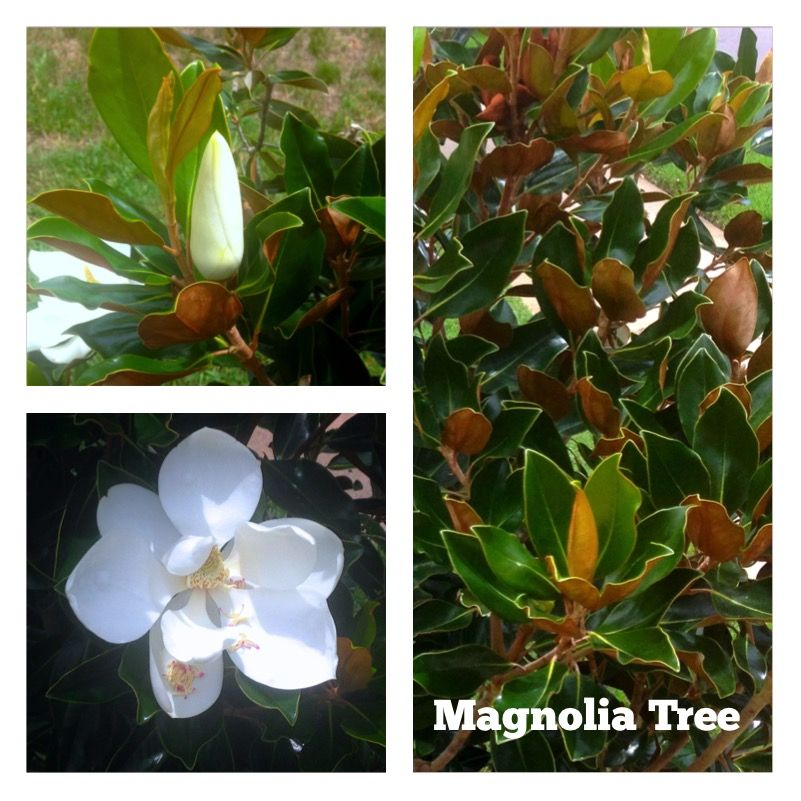Little Gem Magnolia Magnolia Bud Southern Blooming Tree Petite